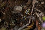 Heidewespbij - Nomada  rufipes