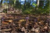 Rodekoolzwam - Laccaria amethystina
