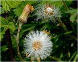Klein hoefblad  - Tussilago farfara