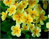 Stengelloze sleutelbloem - Primula vulgaris