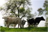 koeien bloesem en weilanden tussen Mesch en sGravenvoeren
