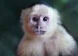 Capuchin near balcony III copy.jpg