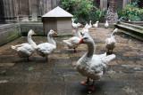 Geese in La Seu