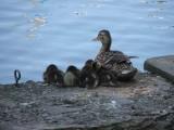 ducks drive by