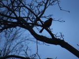Robin's song