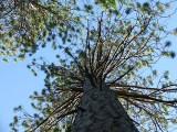 Pine Trees - Norway Bay, Quebec