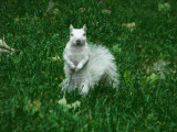 The Albino Squirrel of Trinity Bellwoods Park