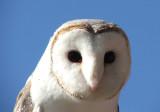 Owl in Brisbane, Australia