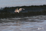 The surfing seagull....