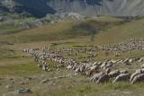 Après les ânes, les Patous, maintenant le troupeau , à 2 m du refuge , pour un peu il le traversait.