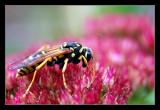 wasp on autumn joy