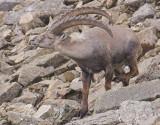 Ibex, Pic Chaussy