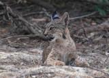Iberian lynx (lynx pardinus), near El Rocío.