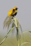 Yellow-crowned bishop, golden bishop (euplectes afer), Isla Mayor, Spain, September 2012