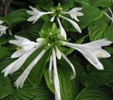 Blume19.jpg