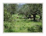 Sheep in olive garden