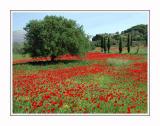 Beautiful poppies - bad weeds?!