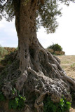 very very old olive tree