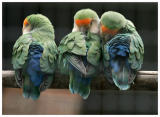 Parrot_Madeira31.jpg