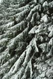 Boughs Of Snow
