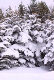 Snow Covered Boughs