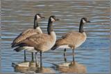 just three geese