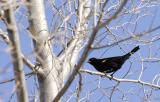 redwing blackbird in spring mood...