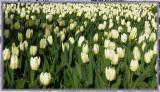 a white tulip field