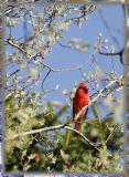 ...cardinal