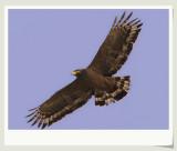 Éßµñ Crested Serpent-Eagle