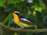 °×ü[¼§]ûl Yellow-rumped Flycatcher