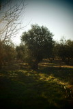 in the olive-grove