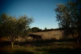 olives108.JPG