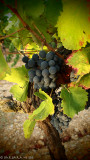 Grenache Grape in the early morning light