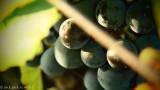 grape-picking