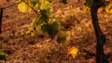 8 am in the vine-yard
