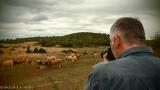 John shooting the cows (breed: Aubrac)