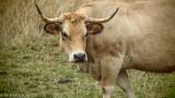 cows (breed: Aubrac)