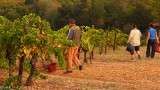 Grape Harvest , early morning
