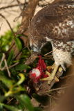 Gory Hawk Photos