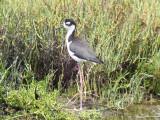 Black-necked Stilt (male)