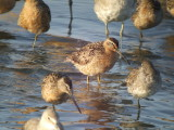 Short-billed Dowitcher ( Pacific )