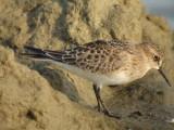Baird's Sandpiper (juvenile )