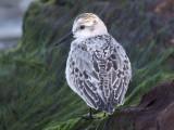 Sanderling ( juvenile )