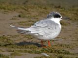 Forster's Tern ( non breeding )