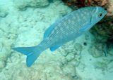 Highfin Rudderfish (30)