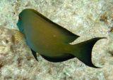 Lined Bristletooth Surgeonfish (15)