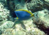 Powder-blue Surgeonfish (18)