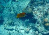 Threespot Angelfish (18)