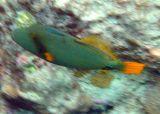 Orange-striped Triggerfish (25)